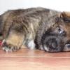 Gauner 5 týdnů 2- pes