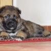 Gauner 5 týdnů - pes