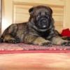 Guliver 5 týdnů - pes